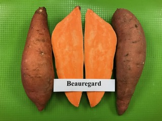 Our Varieties Beauregard Heavy Yielder Sweet Potato Plant Slips