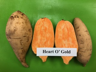 heart o gold sweet potato