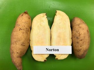 Norton sweet potato plants