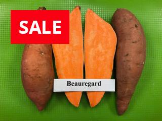 Beauregard sweet potato plants