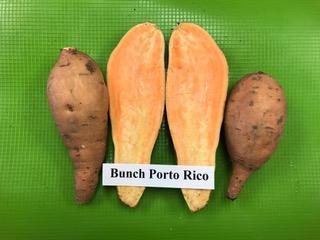 Bunch Porto Rico sweet potato plants